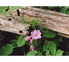 Cosmos and Cedar Fence Photographic Print