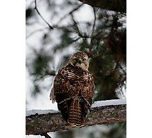 Prairie Falcon 2 Photographic Print