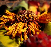 Dried sunflower 2 by TheRoacH