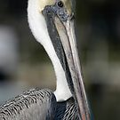 Pelican 1 by doctorphoto