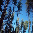 Tall pines by Chickapeek