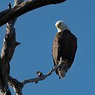 Eagle in tree 1 by doctorphoto