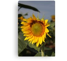 Bright and Colorful Sunflower in a Field Canvas Print