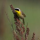 Common Yellowthroat by Martin Smart