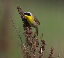Common Yellowthroat by Martin Smart