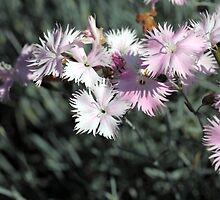Cheddar pink (Dianthus gratianopolitanus) by Zosimus