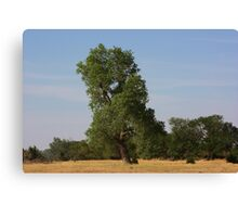Kansas Country  Tree in a Pasture Canvas Print
