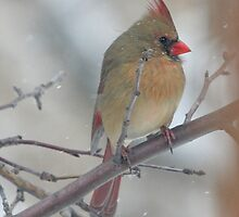 Female Northern Cardinal in the Tree by livinginoz