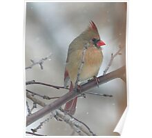 Female Northern Cardinal in the Tree Poster