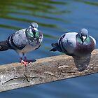 Pigeon Pair at Radipole Lake,Weymouth Dorset UK by lynn carter