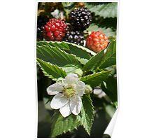 Yummy!  Black Rhapsody Blackberries La Mirada, CA USA Poster