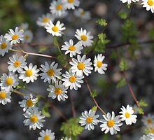 Feverfew Flowers (Tanacetum parthenium). by Zosimus