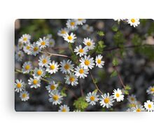 Feverfew Flowers (Tanacetum parthenium). Canvas Print