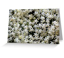 Black Elderberry flowers (Sambucus nigra) Greeting Card
