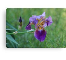Purple Iris Bright and Colorful Canvas Print
