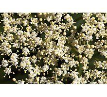 Black Elderberry flowers (Sambucus nigra) Photographic Print