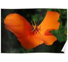 Fluttering Poppy Poster