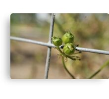 Coriander Berry Canvas Print