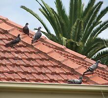 Pidgeons On A Hot Tiled Roof by ScenerybyDesign
