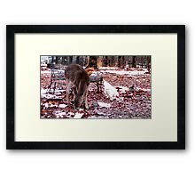 Sharing A Meal..My chickens forage with a squirrel, and a motherless baby deer! Framed Print