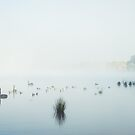 Swans at Lake Burley Griffin by Amanda-Jane Snelling