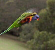 Rainbow Lorikeet in Flight by TonySlattery