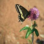 Swallowtail butterfly on red clover by Helene Chevarie