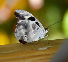 Pretty butterfly by David Lee Thompson