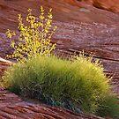 Desert Plant by Nickolay Stanev