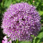 Allium flower. by missjanem111