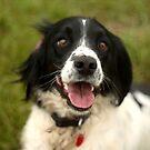 Springer Spaniel dog with muddy nose by RedSteve