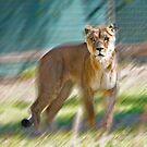 Lioness by miroslava