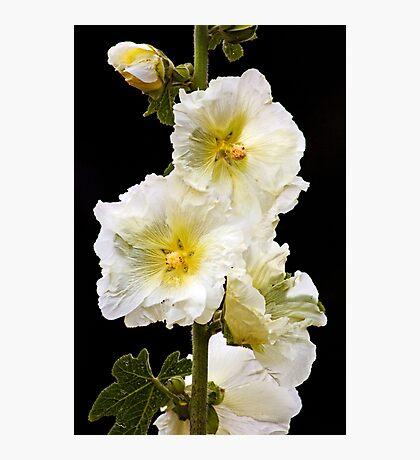 Fragile Flower Photographic Print