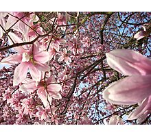 Magnolia Blooms  Photographic Print