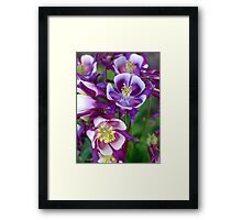 Colorful Columbine Framed Print