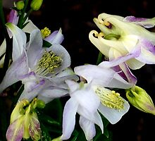 Columbine Blooms by art2plunder