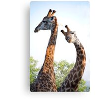 Walking with Giraffes - South Africa Canvas Print