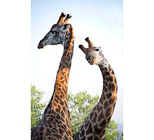 Walking with Giraffes - South Africa Photographic Print