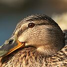 Female Mallard by Franco De Luca Calce