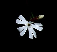 Small White Flower by Elizabeth  Lilja