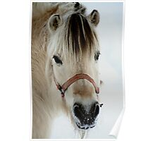 Fjord horse Poster