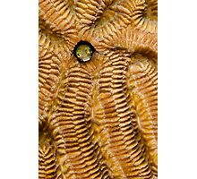 Secretary blenny on Brain Coral Photographic Print