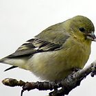 Female Goldfinch snack; La Mirada, CA USA by leih2008
