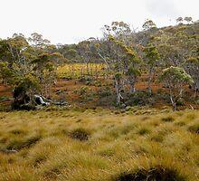 Button Grass and Alpine Coral Fern, Cradle Mountain, Tasmania,Australia. by kaysharp