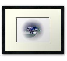 *BLUE JAY DRINKING WATER* Framed Print