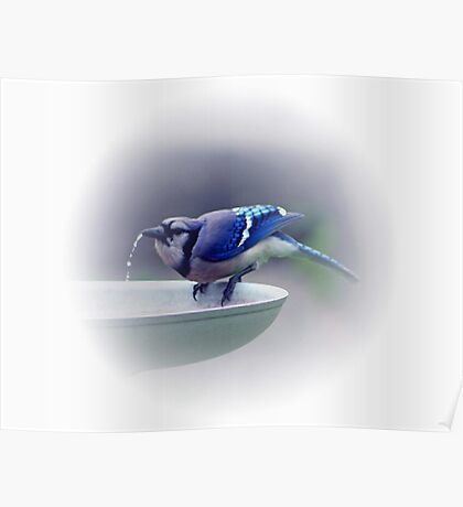 *BLUE JAY DRINKING WATER* Poster