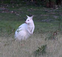 Bruny Island White Wallaby  by Debbie  Widmer