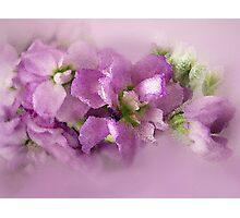 Lavender Lust Photographic Print