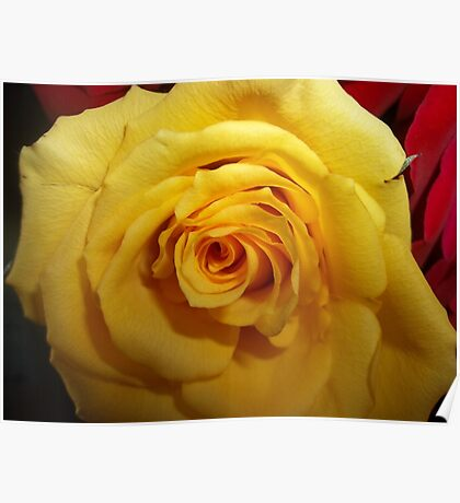 Gifted Yellow Rose Poster