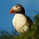 Atlantic Puffin by DebYoung